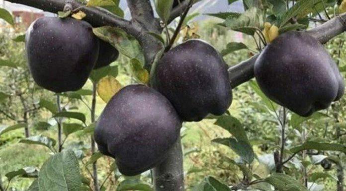 Black Apple Fruit