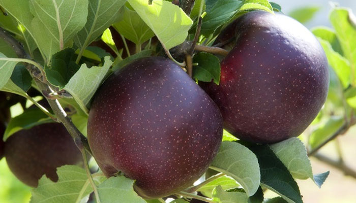 black apple fruit price