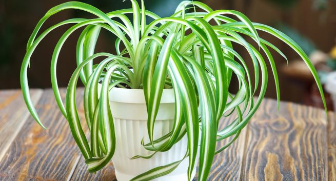 natural air purifiers plants
