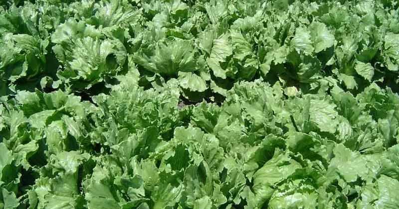 Lettuce Benefits in Hindi