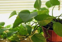 Vastu Tips for Money Plant in Home