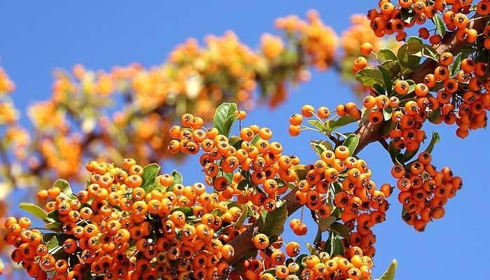 Benefits of Himalayan Berry