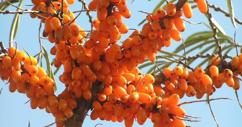 Himalayan Berry Benefits in Hindi