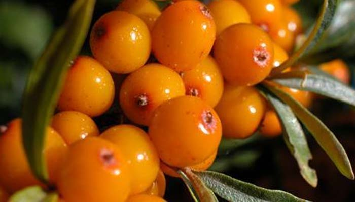 Himalayan Berry