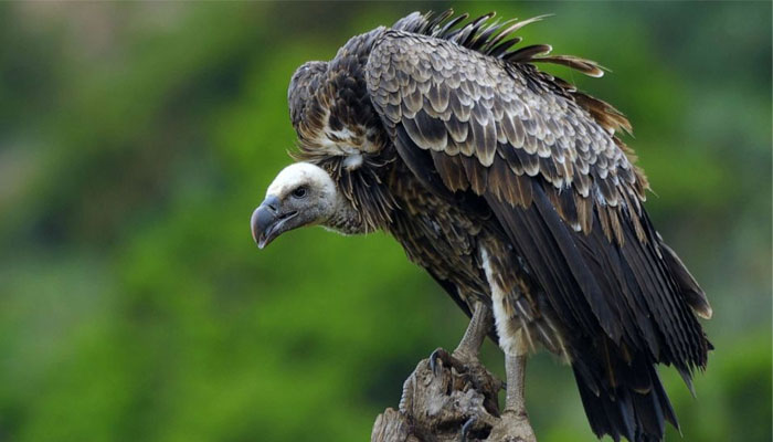 special restaurant for eagle and vulture bird