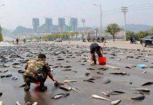 honduras rain fish