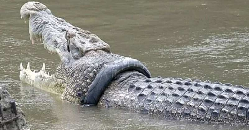 bike tire stuck in crocodile neck for four years indonesia government will reward the taker