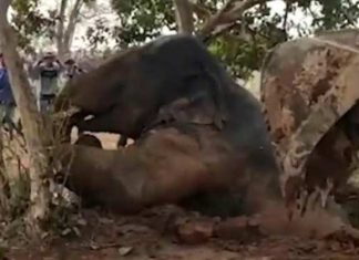forest department rescue elephant calf by archimedes principle