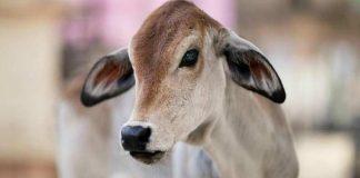 kill calf marry daughter