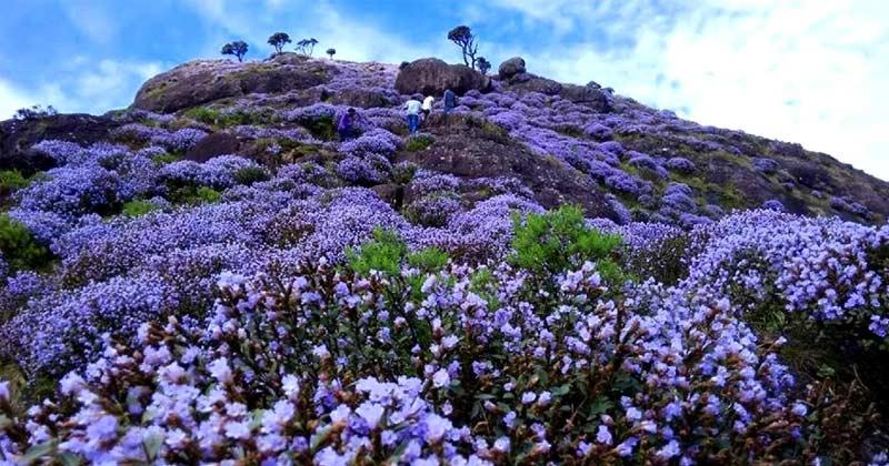 why neelakurinji blooms in 12 years