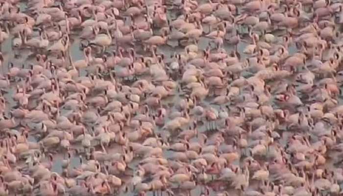 flock of flamingos in navi mumbai