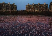 large flock of flamingos in navi mumbai lockdown