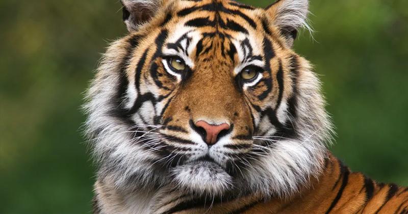 us Bronx Zoo tiger coronavirus positive
