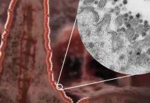 coronavirus may damage intestine and heart