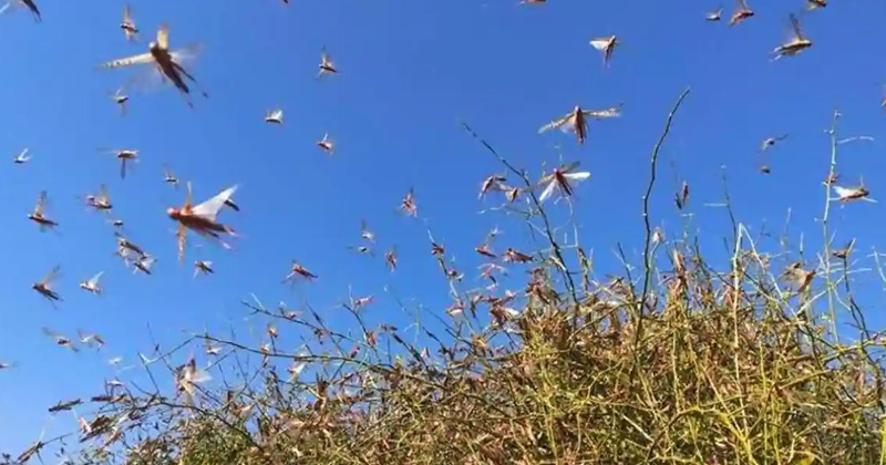 locust attack alert in 10 district of uttar pradesh and delhi