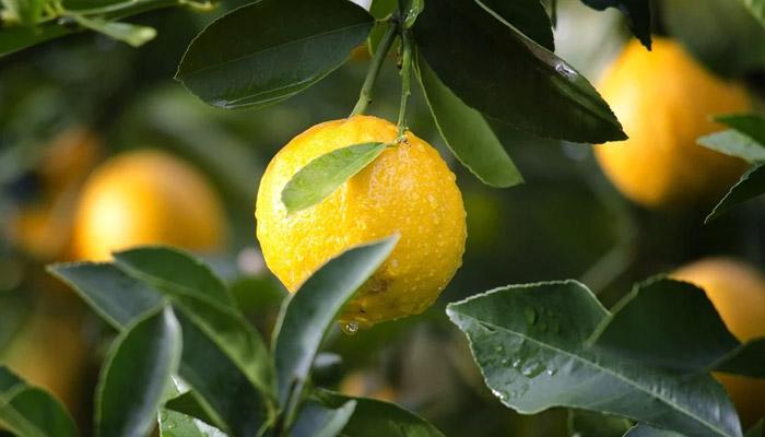 Lemon- anti ageing food