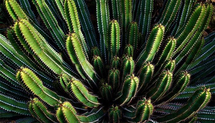 Cactus sabzi benefits