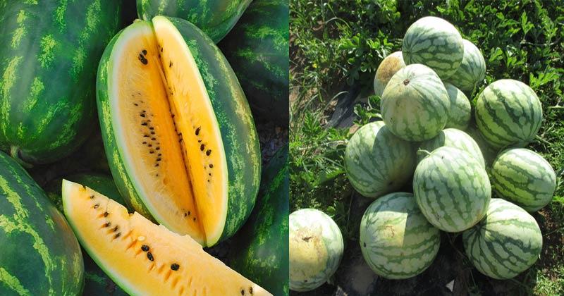 Jharkhand Farmer Farming Yellow Watermelon
