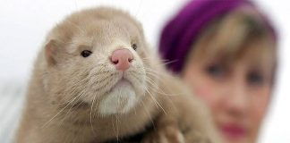 Netherlands government order to kill otters