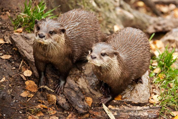 Otters to be killed in Netherlands