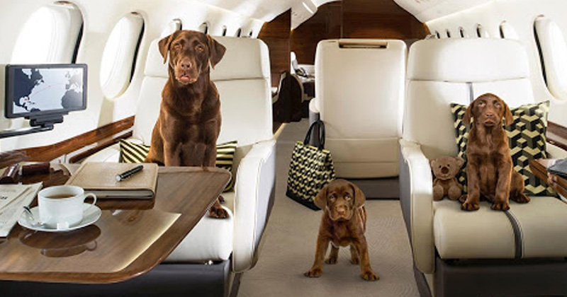 private jet hired to fly pets from delhi to mumbai