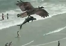 Bird Flying with a Large Fish on Myrtle Beach USA