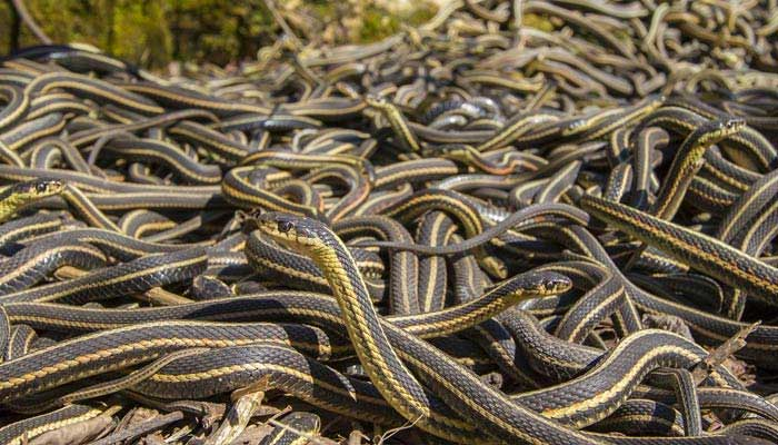 Snakes Superstition in India