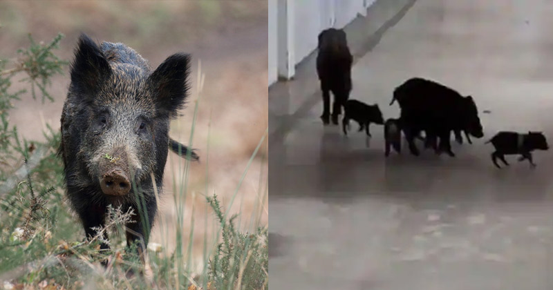 pigs roaming in karnataka covid 19 hospital video viral