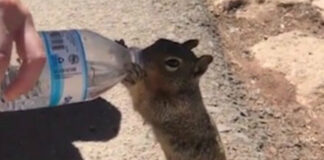 thirsty squirrel quick a drink hikers