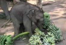 Baby Elephant Playing with Bananas