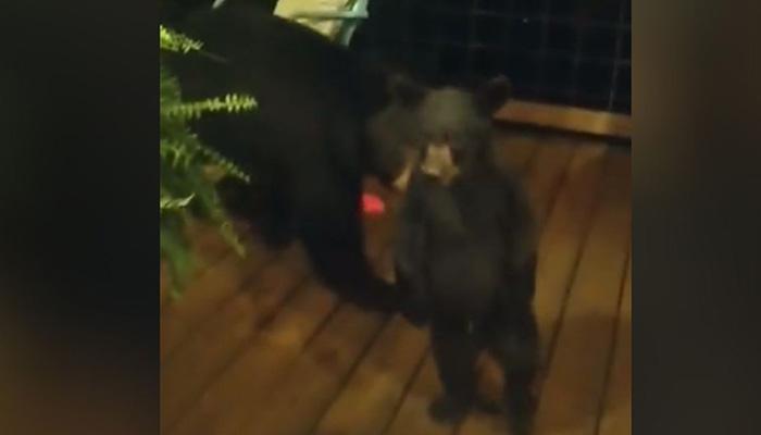 Bear Cub Front of Doorstep