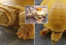 Rare Golden Turtle Found In Nepal
