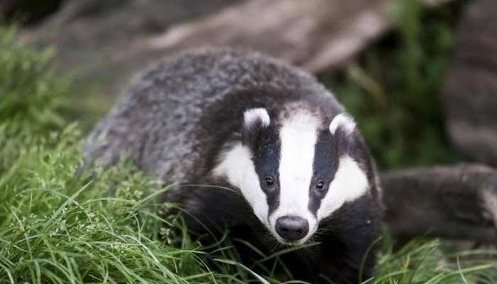 badgers Unusual Family Pets