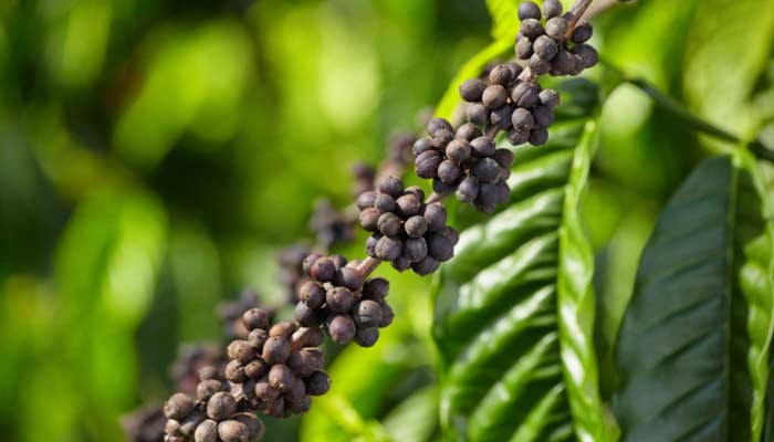 Coorg Coffee- Best Indian Things