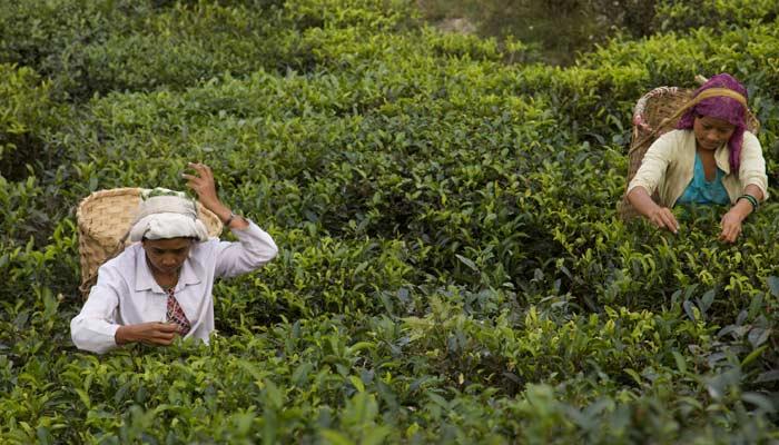 Darjeeling Tea- Best Things To Buy In India