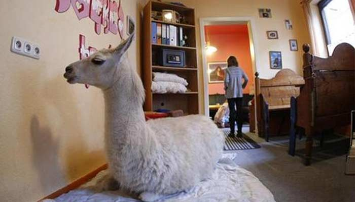 Llama In House Unusual Family Pets