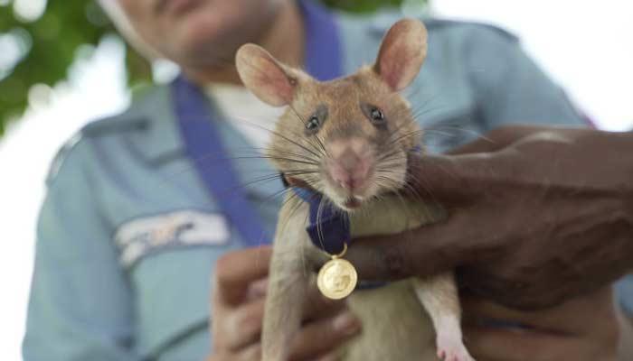 Magawa Rat Get Gold Medal