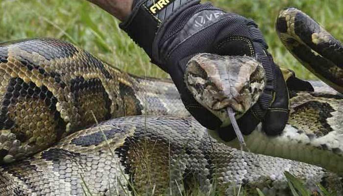 Python Caught In A Car Wheel