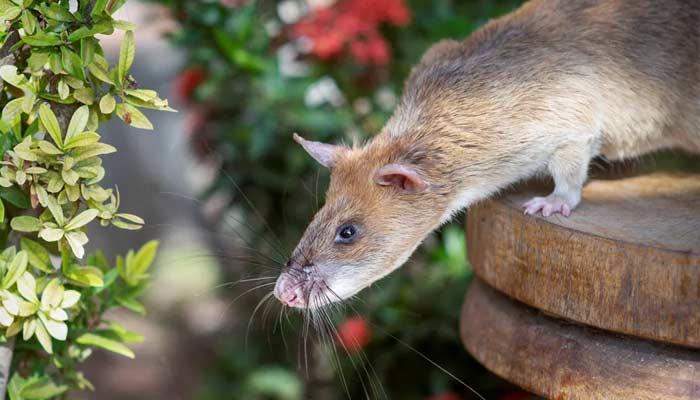 Rat Called Magawa Was Awarded The PDSA Gold Medal