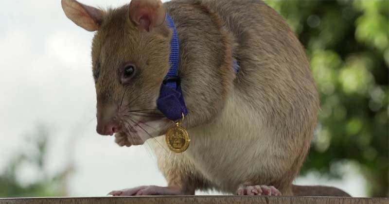 Rat Get Gold Medal In cambodia