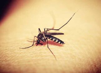 Why mosquitoes suck human blood