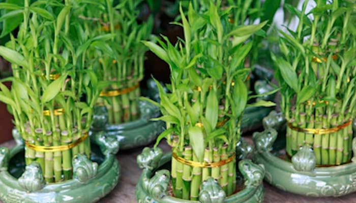 Bamboo Plant- Plants For Home & Office