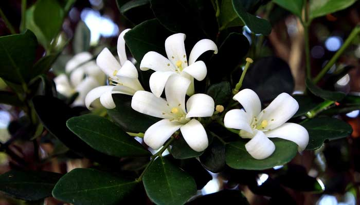 Jasmine Plant- Plants For Home & Office