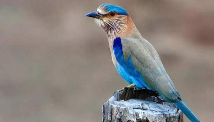 Neelkanth Bird- Vijayadashami