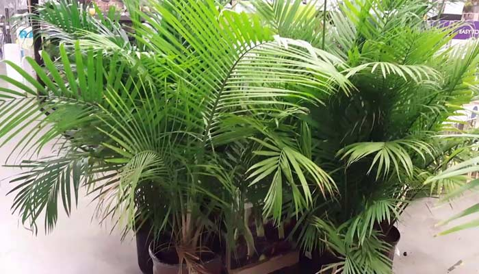Palm Plant- Plants For Home & Office