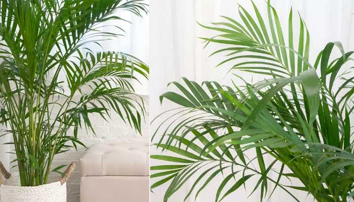 Areca Plant - वायु प्रदुषण से बचाव