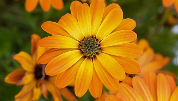 Calendula - Winter Season Flowers Name In Hindi
