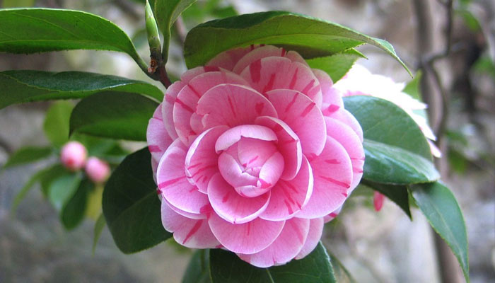 Camellia- Flowers In Winter At Your Home