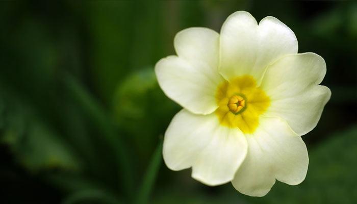 English Primrose- Winter Season Flowers