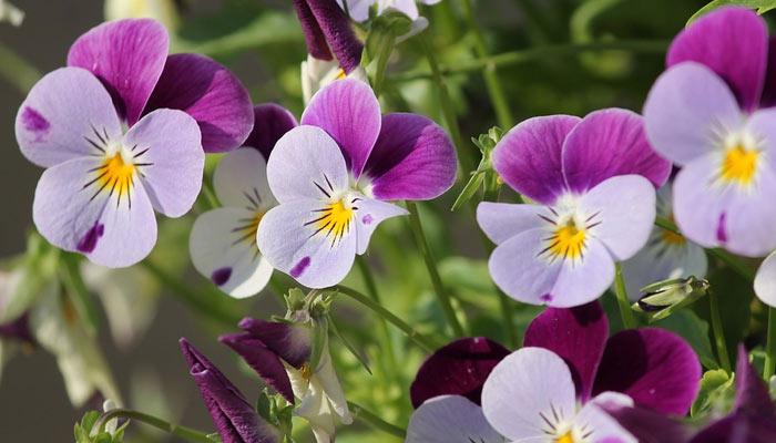 Pansy - Winter Season Flowers Name In Hindi